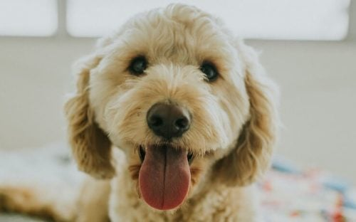 Golden doodle dog, cute with tongue out looking into camera